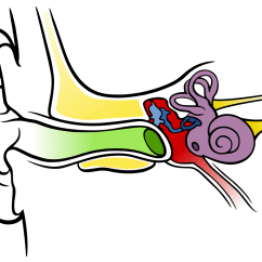 Ear Anatomy Diagram Quiz Aiphone Lem 3 Wiring Images For Blank