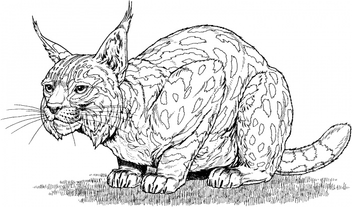 Free Free Coloring Pages Bobcat Footprint, Download Free
