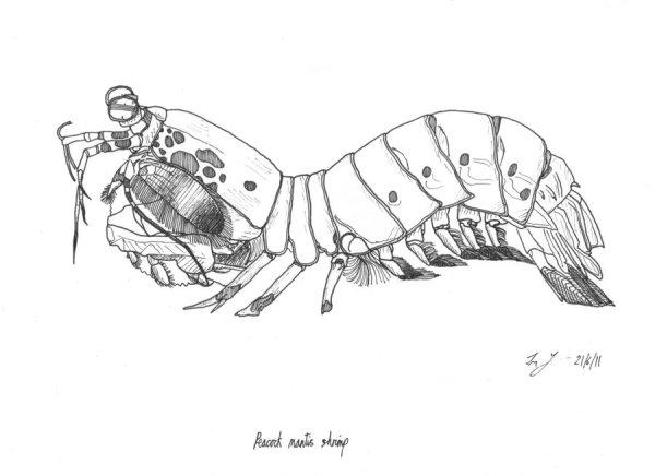 free mantis shrimp cartoon