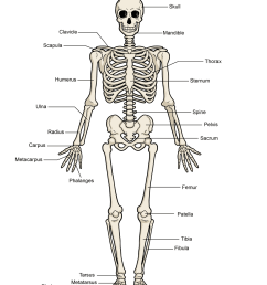 human skeleton diagram png [ 1159 x 1500 Pixel ]