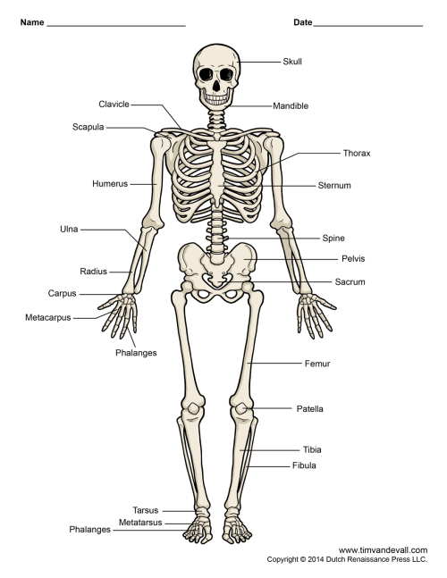 small resolution of human skeleton diagram png