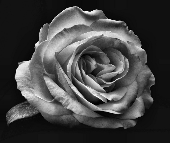 3d Wallpaper Free Download African Grey Free Rose In Black And White Download Free Clip Art Free