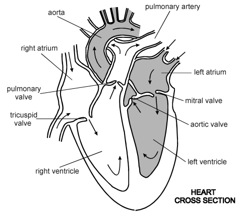 unlabeled heart diagram cross section chrysler infinity amp wiring free human sketch download clip art quiz