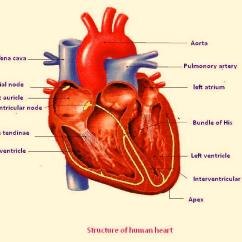 Label Heart Diagram Worksheet Answers Dimplex Electric Baseboard Heater Wiring Free Unlabelled Of The Download Clip Art Human Unlabeled Anatomy