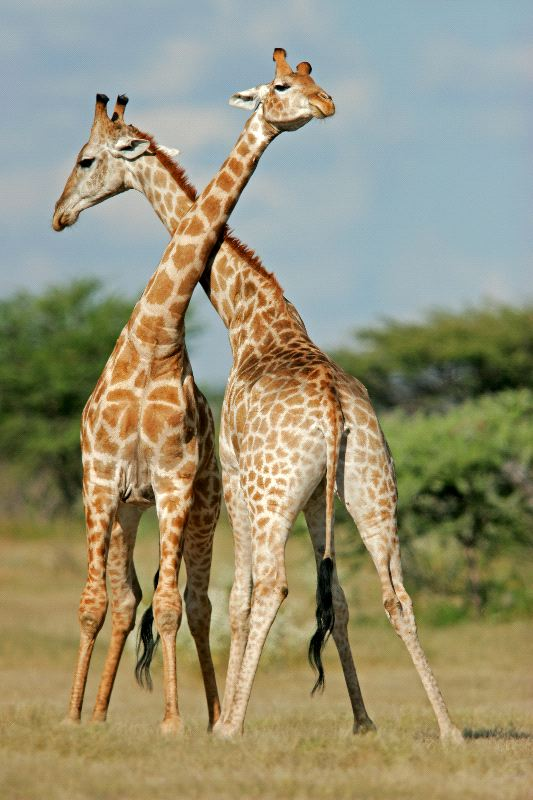 African Animal Wallpaper Border Two Male Giraffes Fighting Giraffe Facts And Information