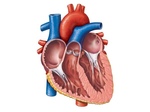 Free Unlabelled Diagram Of Heart Clip