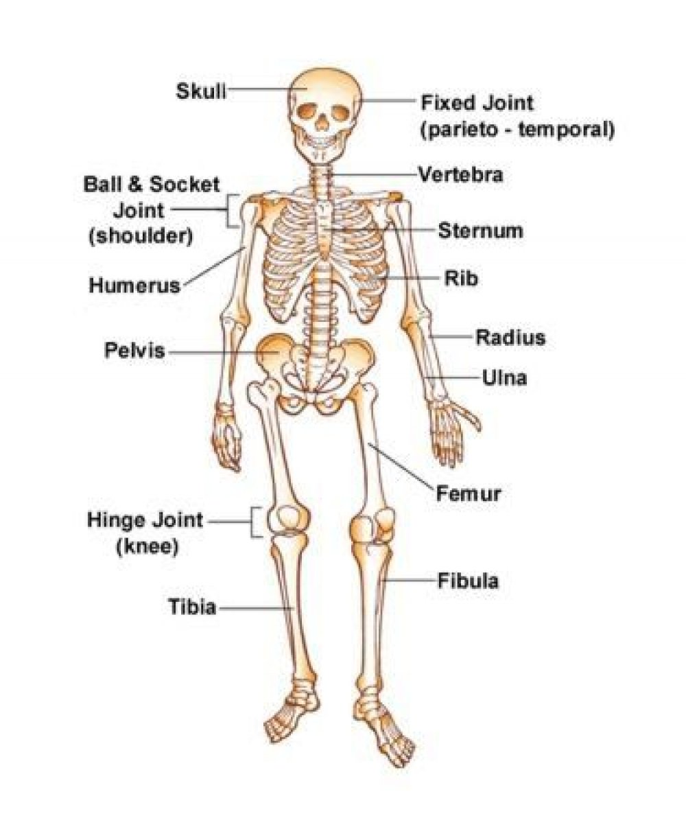 hight resolution of free skeleton for kids download free clip art free clip art onlabeled skeletons here