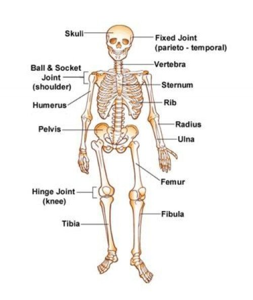 small resolution of free skeleton for kids download free clip art free clip art onlabeled skeletons here