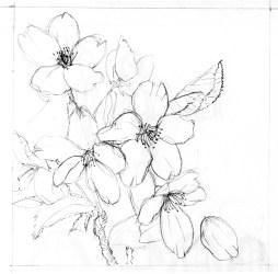 cherry blossoms blossom drawing flower drawings clipart sakura pencil flowers library clip deviantart sketches drawn jen remix van tattoo login