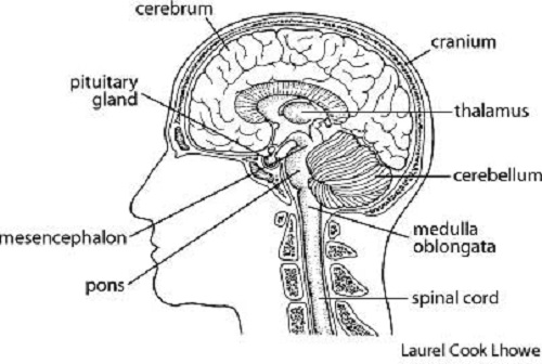 Free Brain Diagram, Download Free Clip Art, Free Clip Art