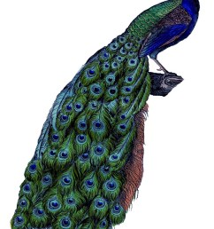 peacock clipart free clipart library free clipart images [ 1037 x 1600 Pixel ]