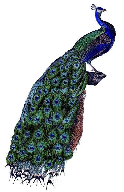 small resolution of peacock clipart free clipart library free clipart images
