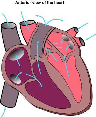 anterior heart diagram unlabeled 4 pin relay wiring horn free unlabelled of the download clip art 2320 index