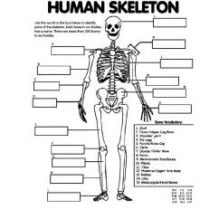 Bones Skeleton Diagram With Labels Cat 3 Telephone Wiring Cable Vivresaville Free Kids Drawing, Download Clip Art, Art On Clipart Library