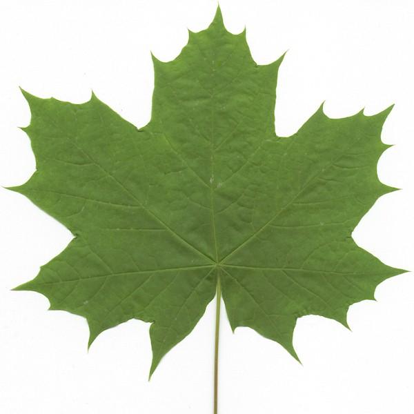 Hard Vs Soft Maple Trees