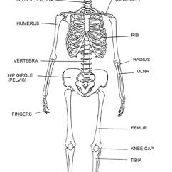 Kids Skeletal System Diagram Honeywell V4043 Wiring Label The Human Skeleton K 5 Computer Lab Clip Art Library