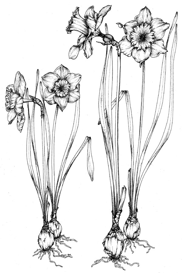 Free Drawings Of Daffodils, Download Free Clip Art, Free