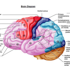 Human Brain Diagram Label Door Access Control Wiring Labeled Anatomy Clip Art Library Enjoying Music Is Deeply Rooted Within Actitivity Say