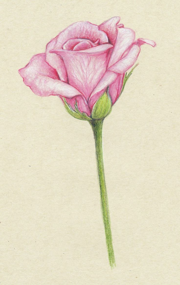 Things To Draw With Color : things, color, Flower, Color, Pencil, Drawing, Library