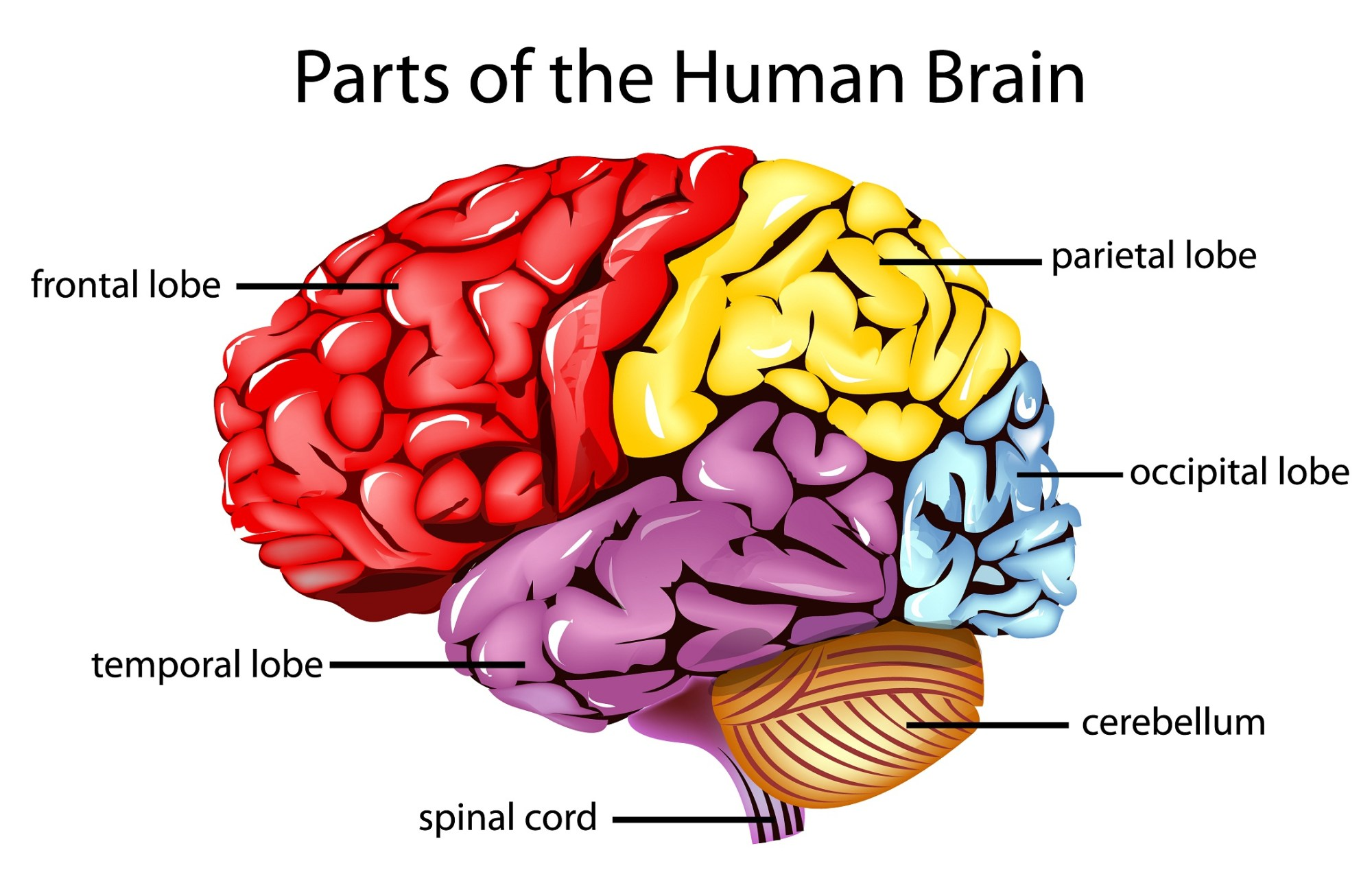 hight resolution of brain diagram unlabeled 391 unlabeled brain diagram thing that