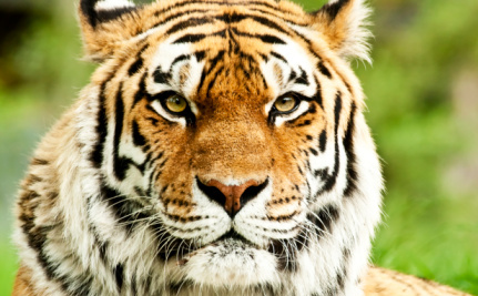 free tiger face download