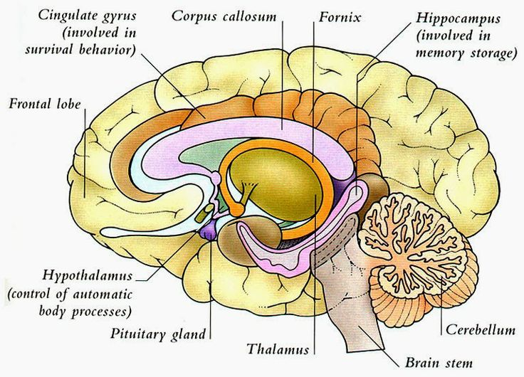 labelled diagram of human brain vauxhall astra trailer wiring the anatomy and physiology diagrams nice