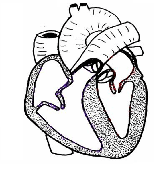 Free Circulatory System Clipart, Download Free Clip Art