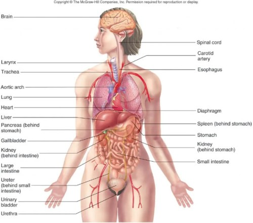 small resolution of human body organs diagram human anatomy diagram