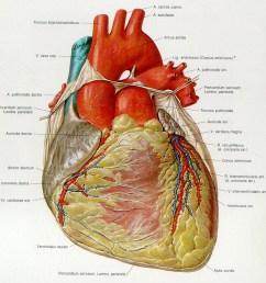 clip arts related to images for human heart diagram unlabeled [ 937 x 953 Pixel ]