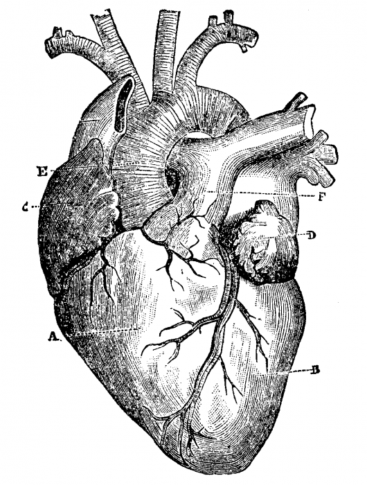 anatomical heart diagram 3 way switch wiring diagrams free human, download clip art, art on clipart library