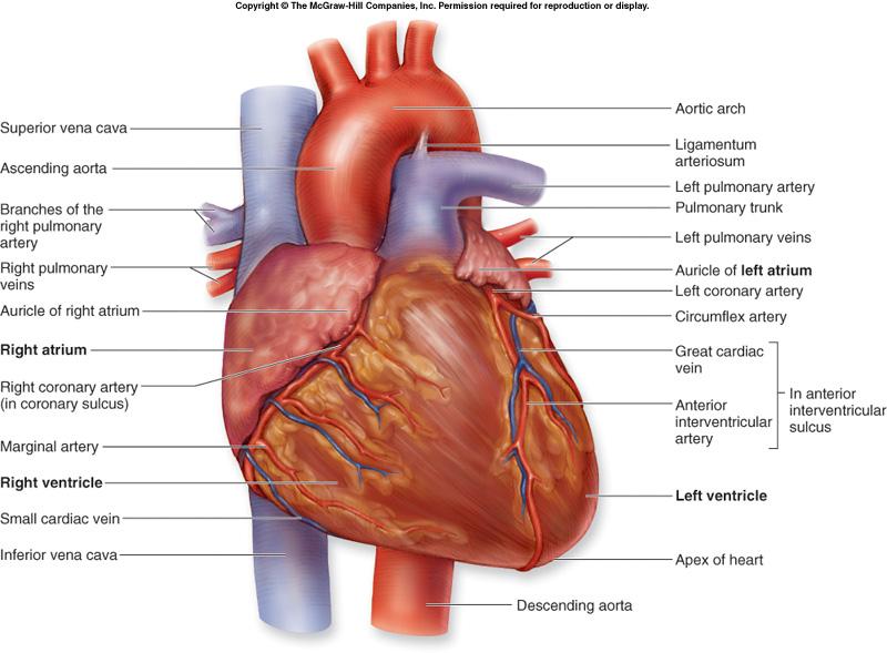 anterior heart diagram unlabeled microsoft lync free blank download clip art on heartexternalanatomy jpg