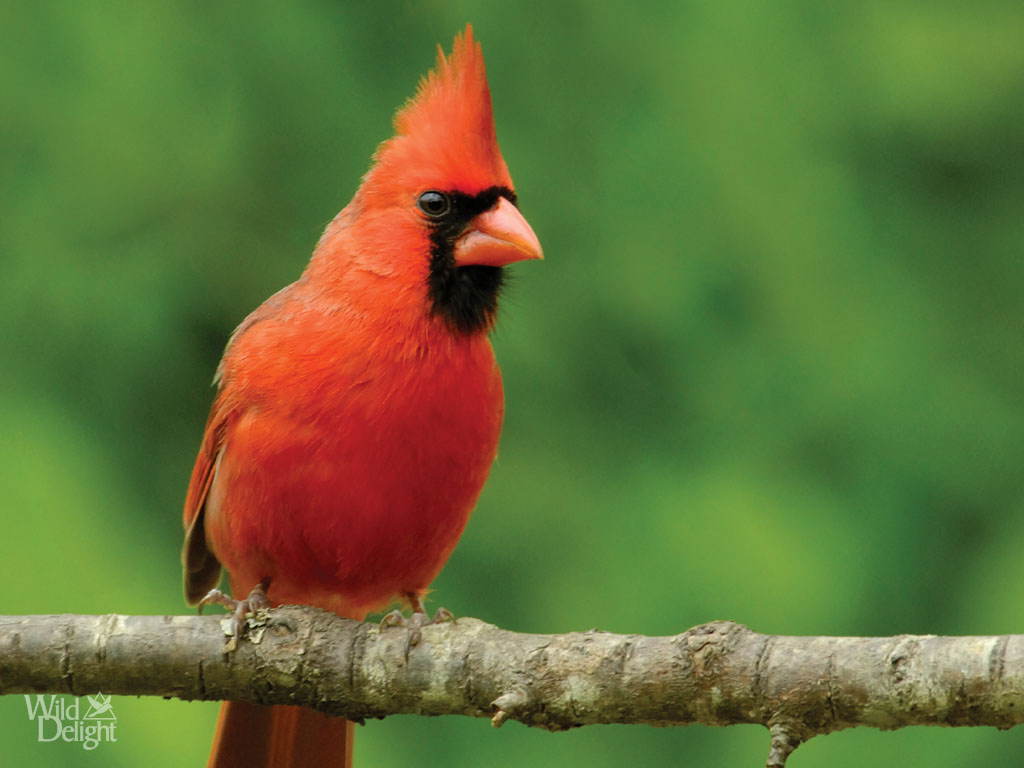 Free Cardinal Download Free Clip Art Free Clip Art On
