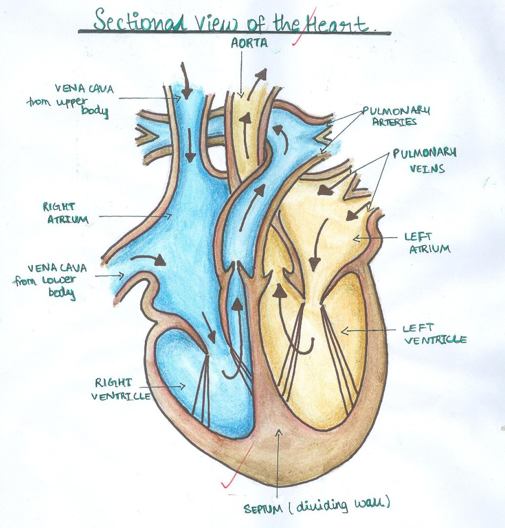 medium resolution of simple human heart diagram clipart free clip art images