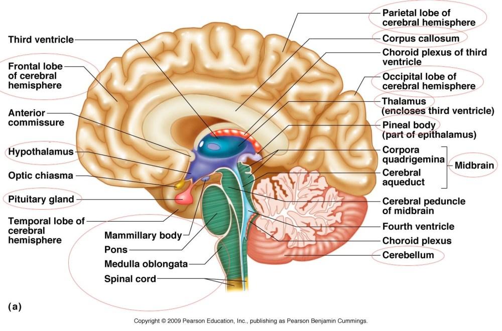 medium resolution of designs and diagram of brain parts picturespider com