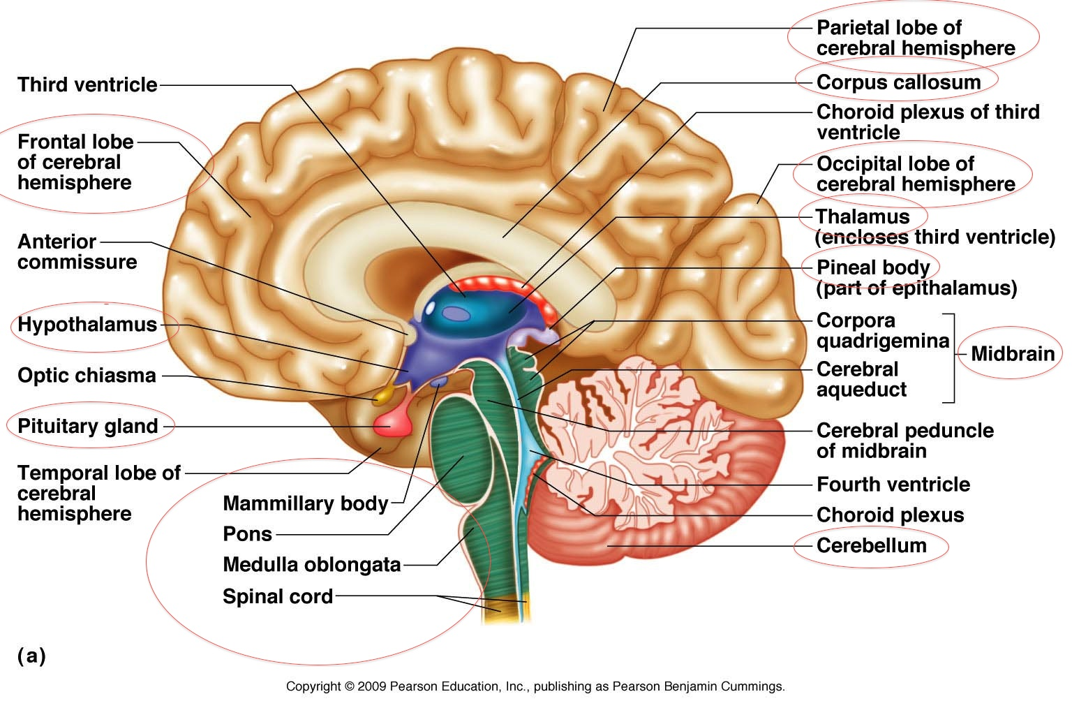 hight resolution of designs and diagram of brain parts picturespider com