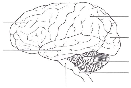 Blank Brain Diagram To Label