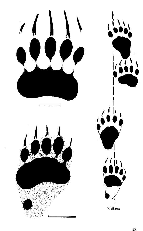 Free Bear Foot Print Clip Art