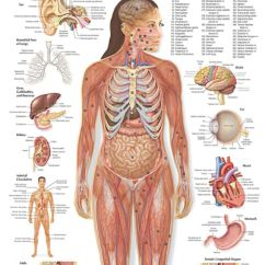 Deer Skeleton Diagram Purpose Venn Female Human Body Organs | Anatomy Ideas - Clip Art Library