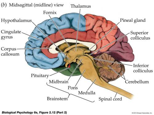 small resolution of unit 3 all about the brain ap psychology