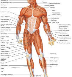 human body pictures science for new page 2 [ 1043 x 1404 Pixel ]