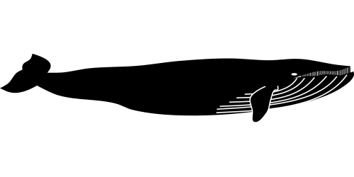 Blue whale Marine mammal Animal whale png download 1920*960 Free Transparent Whale png Download Clip Art Library