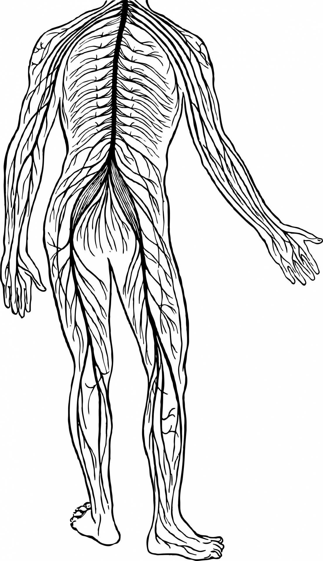 Free Nervous System Cliparts, Download Free Clip Art, Free