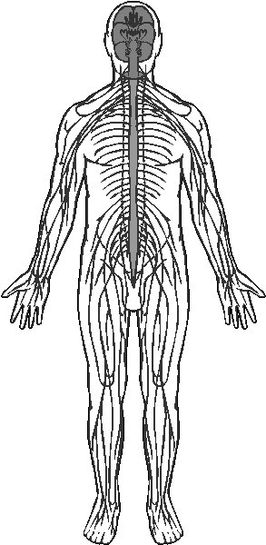 organ diagram outline 99 grand cherokee wiring free nervous system cliparts, download clip art, art on clipart library