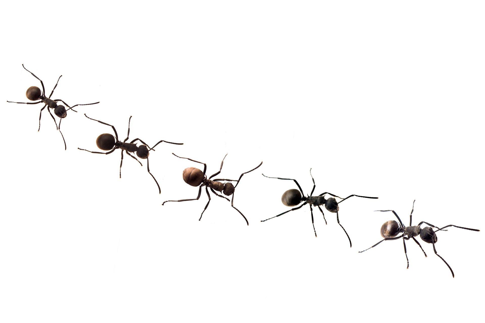 hight resolution of ant team clipart marching