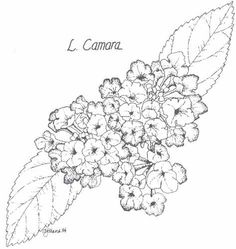Free Lantana Flower Cliparts, Download Free Clip Art, Free