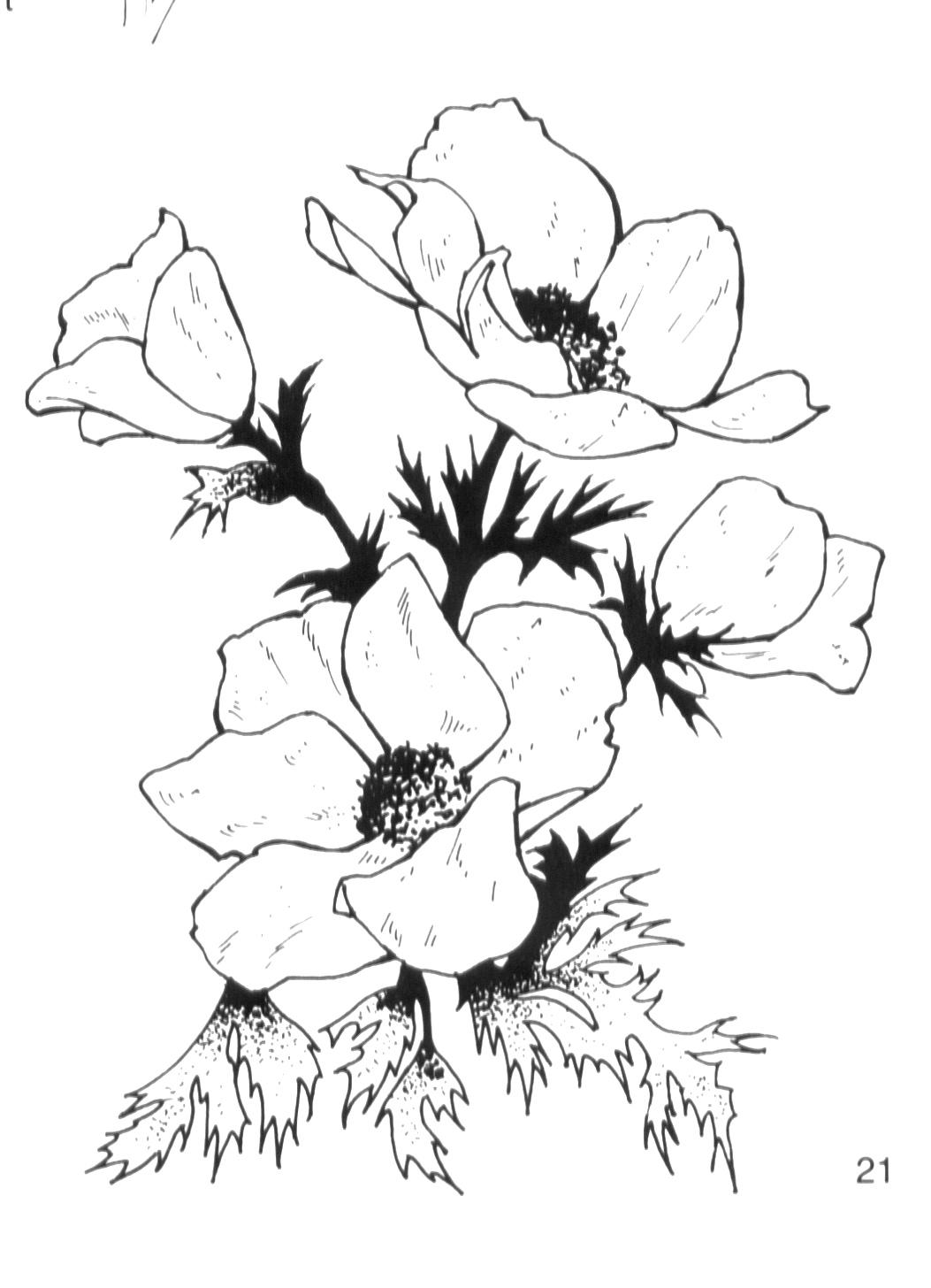 Anemone Flower Drawing : anemone, flower, drawing, Anemone, Flower, Cliparts,, Download, Clipart, Library
