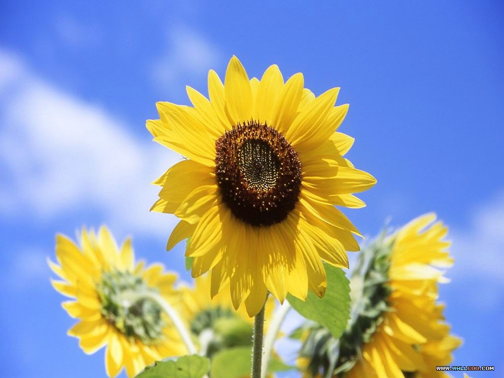 Fall Sunflowers Wallpaper Sunflower Clipart