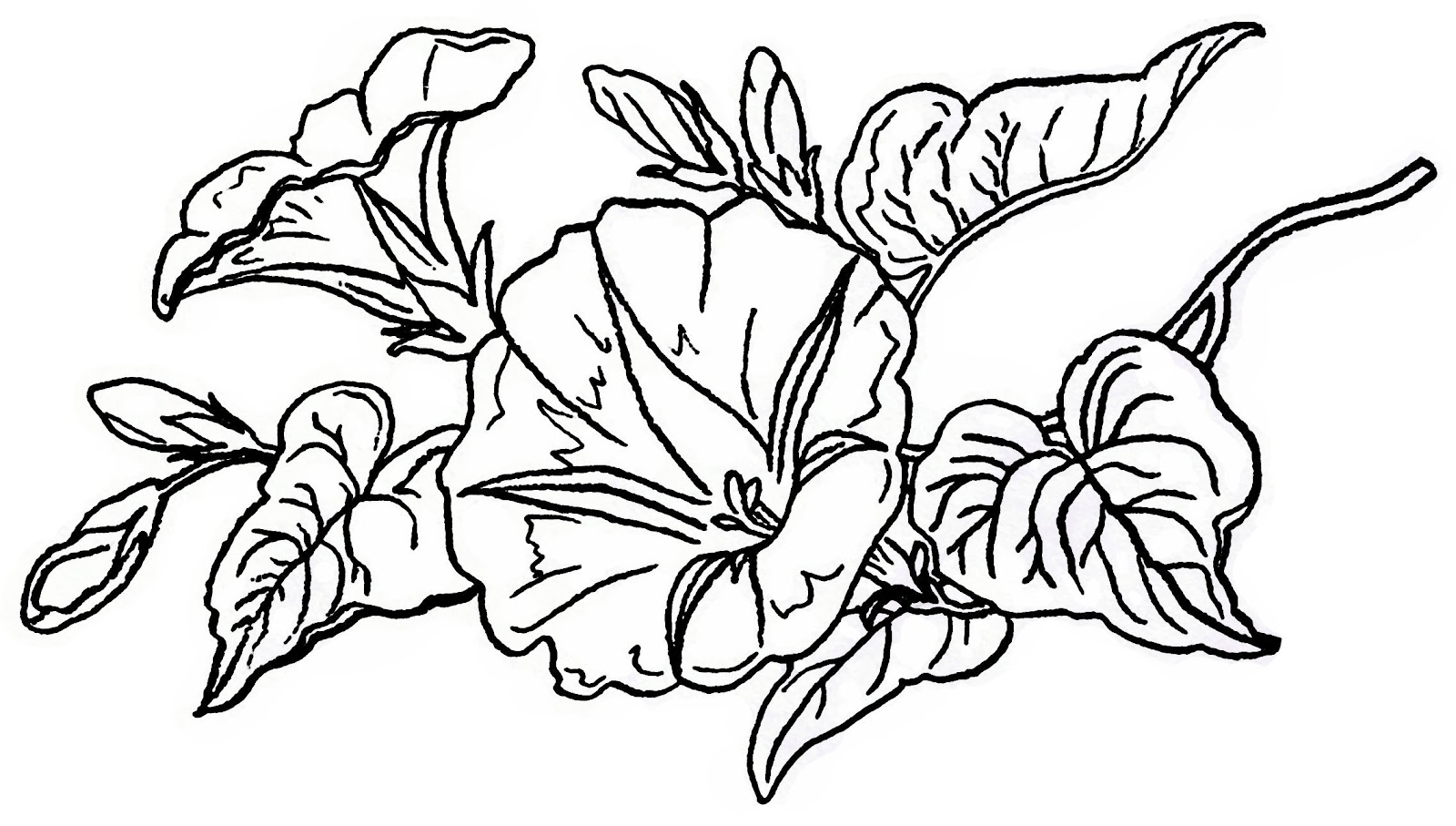 Morning Glory Clip Art Black And White