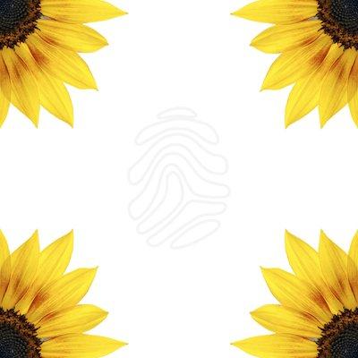 free sunflower border cliparts