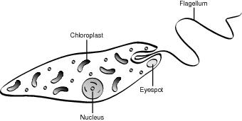 Origin Of Prokaryotes And Eukaryotes Protists Clipart